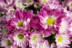 pink chrysanthemum the little flower shop bouquet builder florist london2