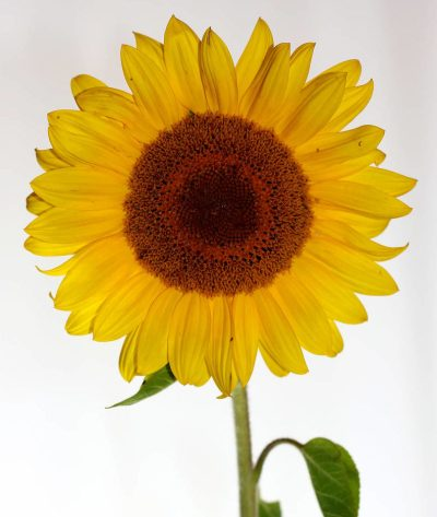 sunflower-the-little-flower-shop-bouquet-builder-florist-london-flowers-by-post-flower-shop-mothers-day-same-day-delivery