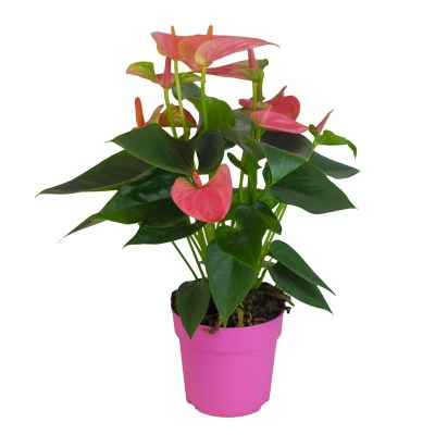 anthurium-pink-indoor-plants-the-little-flower-shop-london-florist-london-clapham-brixton-plant-delivery-mothers-day-plants
