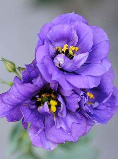 lisianthus-bouquet-builder-the-little-flower-shop-white-lisianthus-purple-lisianthus-florist-london-uk-delivery-build-your-own-bouquet