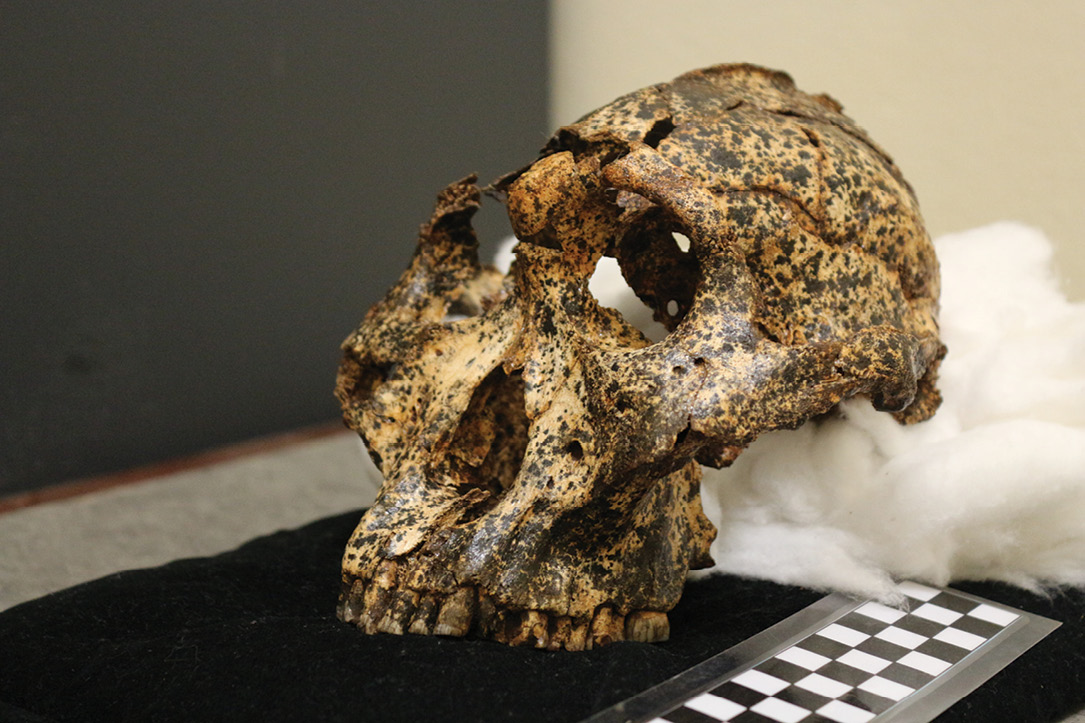 LEFT The Paranthropus robustus specimens found at the site of Drimolen Main Quarry are believed to represent a population that differs significantly from specimens found at other sites. BELOW The DNH 155 cranium provides clear evidence that microevolutionary change occurred within Paranthropus robustus over a short period of time.