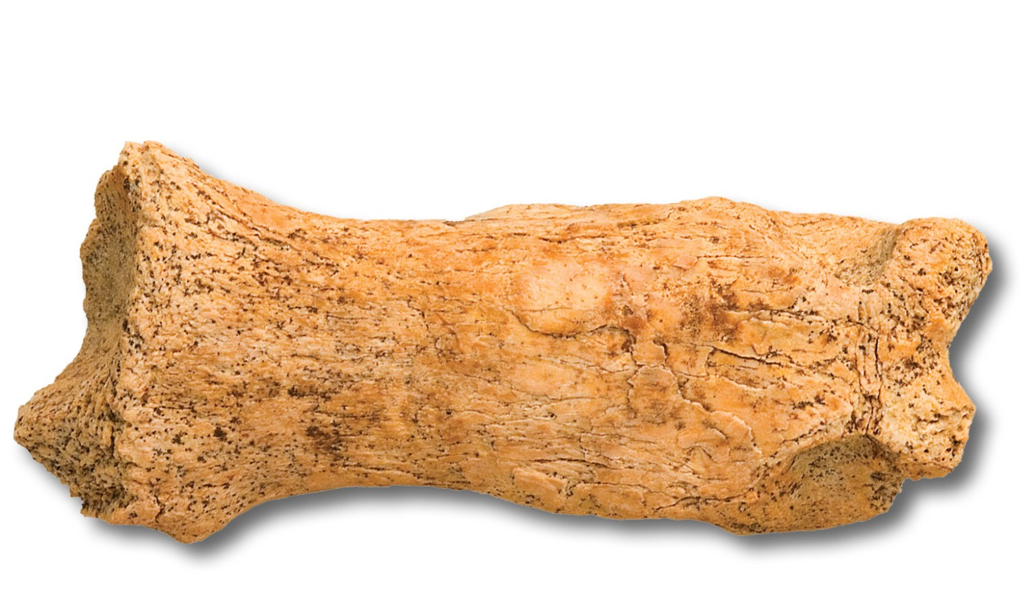 below A leopard toe-bone from Pontnewydd cave, Wales, held by St Fagans Museum. Wolves and hyaenas are other predators that may have competed with Neanderthals for use of caves through the time they lived in Britain.