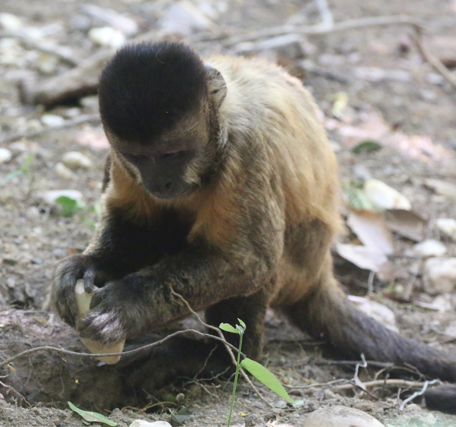 Certain primate populations have also proven adept at using stone technology. Here, capuchins use stone implements to dig a hole (ABOVE) and crack open a cashew nut (BELOW).
