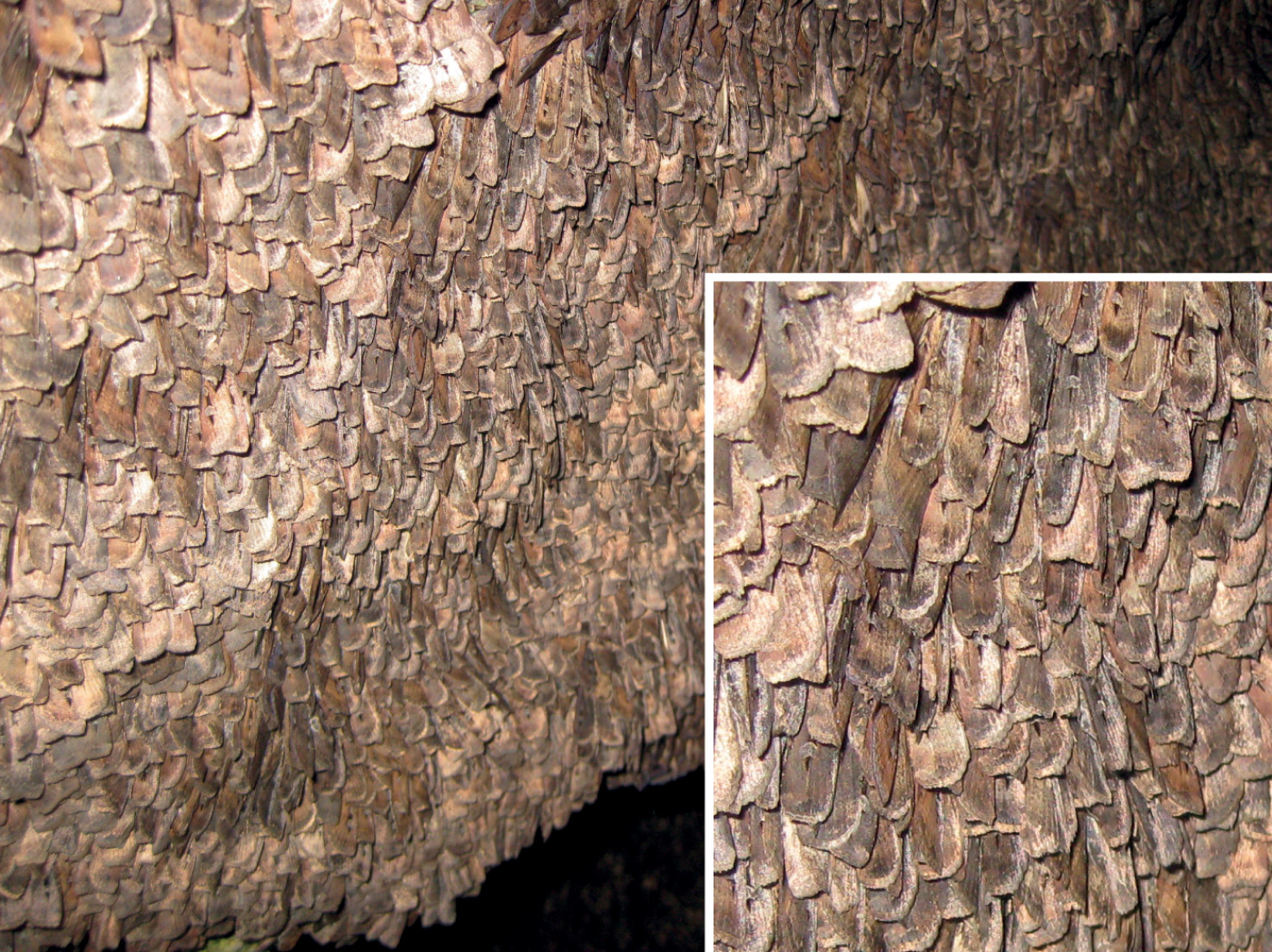 above A Bogong moth (right). As this photograph shows, at the right time of year thousands of them can be found per square metre on rock surfaces, offering an abundant source of food.
