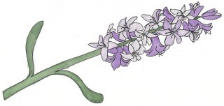An illustration of a purple hyacinth.