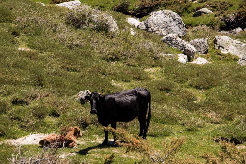 vaches plateau coscione