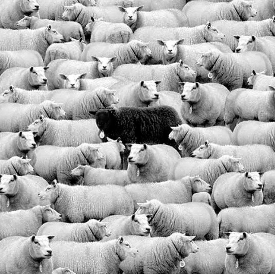 Black Sheep with Lambs