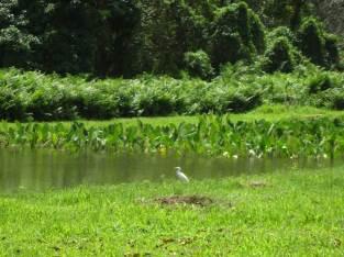 Taro field with Egret, Waipio Valley
