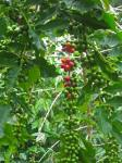 Kona coffee cherries ripening
