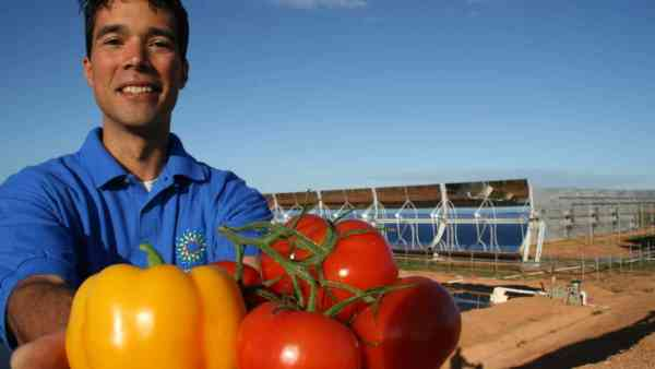 Sundrop's farm is expected to yield 17000 tons of tomatoes every year (photo: TransContinental)