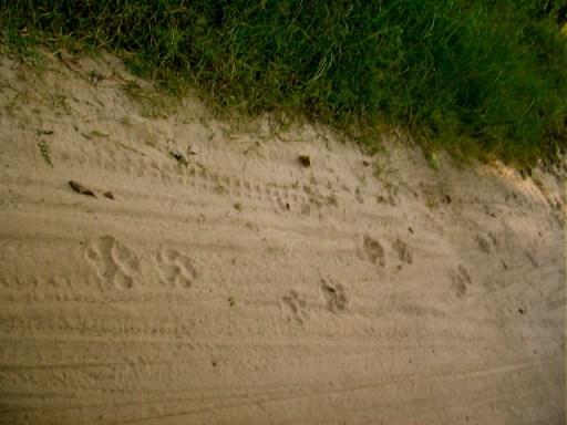 Tiger pug marks, Jim Corbett, National Park, jeep safari