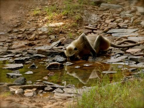 panna wildlife, madhya pradesh wildlife, panna, langur