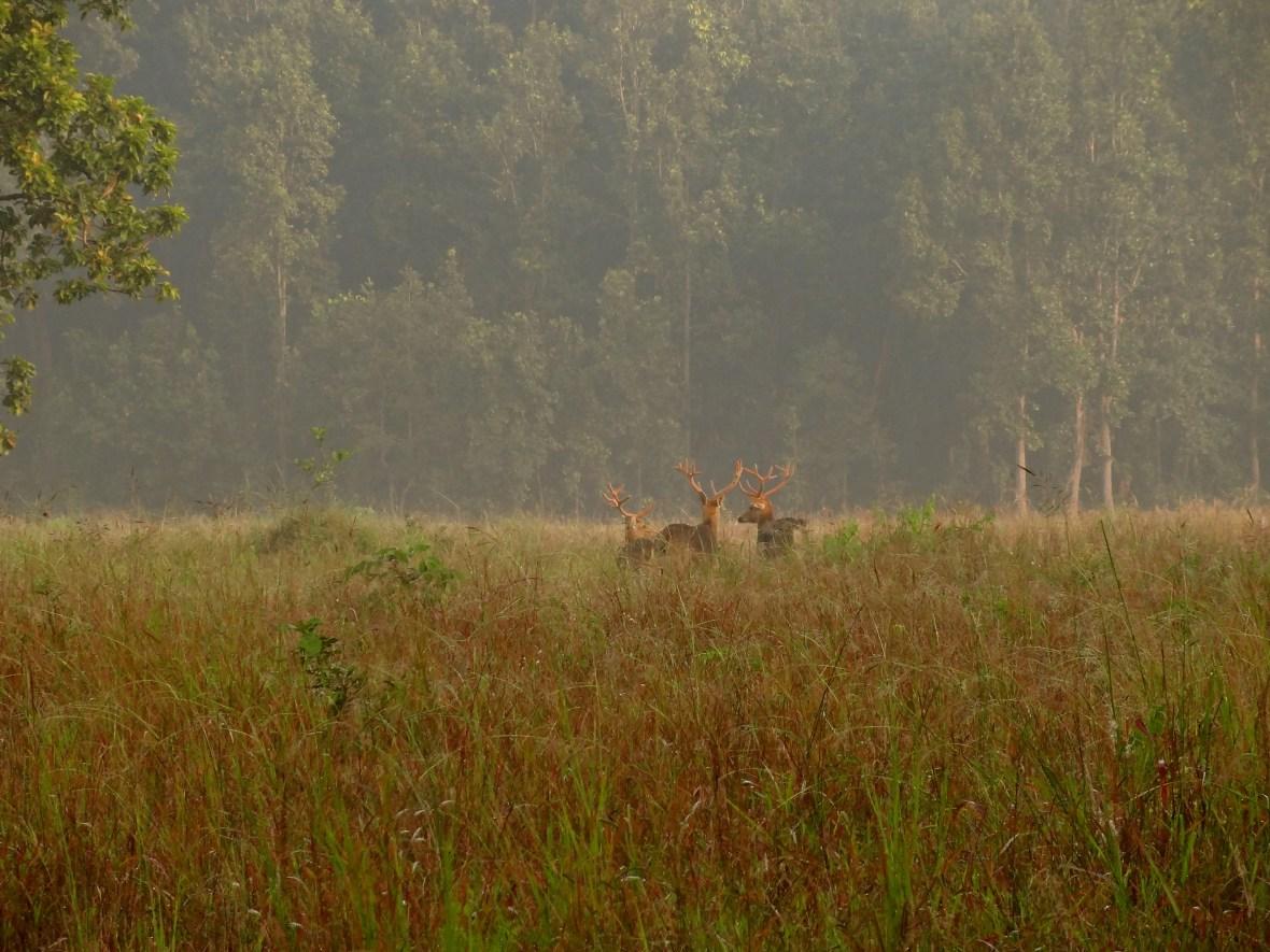barasinghas, palm civet, Kanha wildlife, Kanha national park, Kanha madhya pradesh