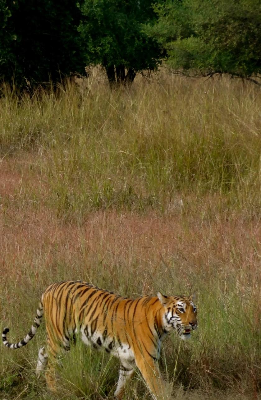 tigers tadoba, royal bengal tiger, tadoba tiger reserve, tadoba national park