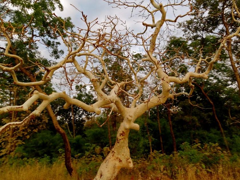 ghost tree, madhya pradesh, india forests