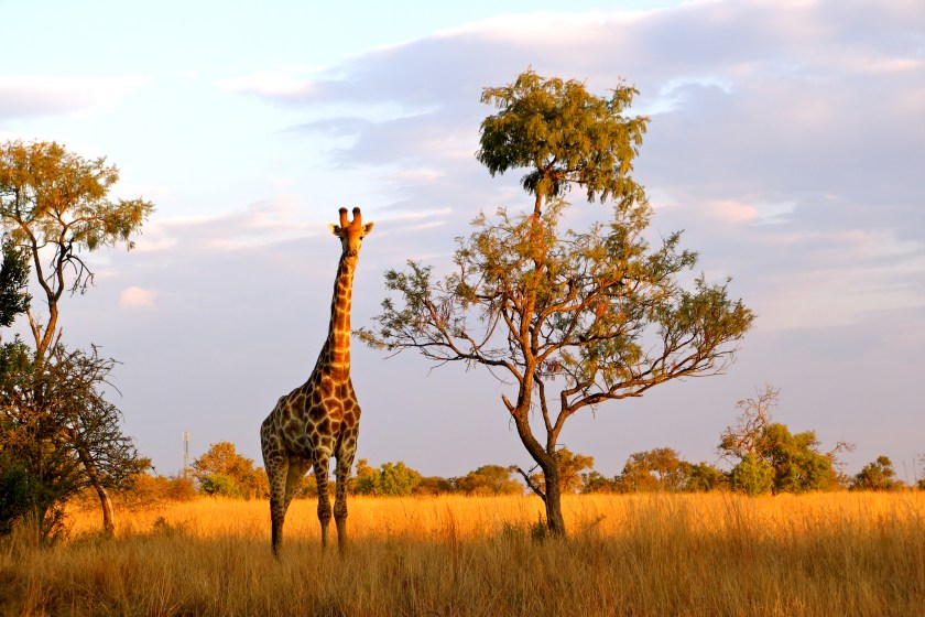 giraffes south africa, why visit south africa