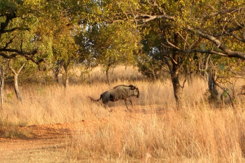 dinokeng game reserve, wildebeests south africa