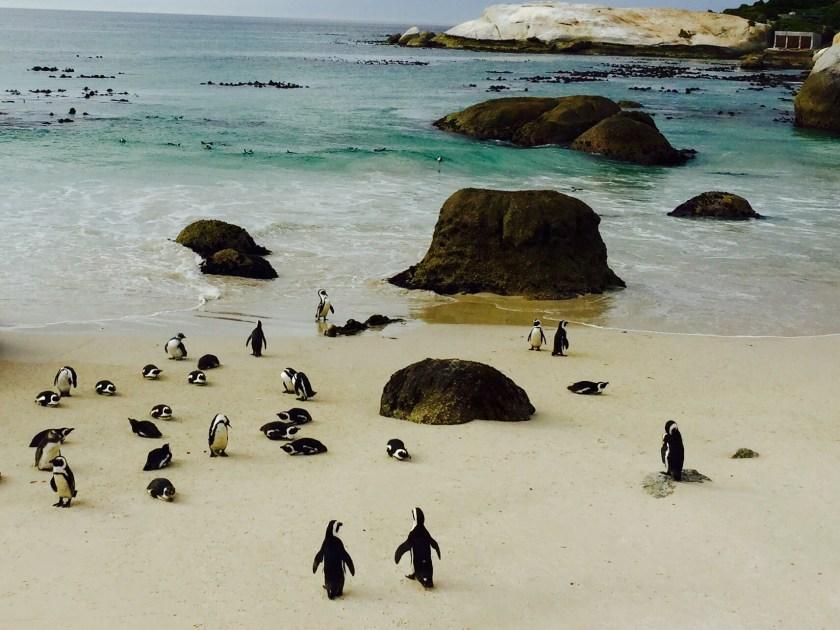 Boulders beach, penguins cape town