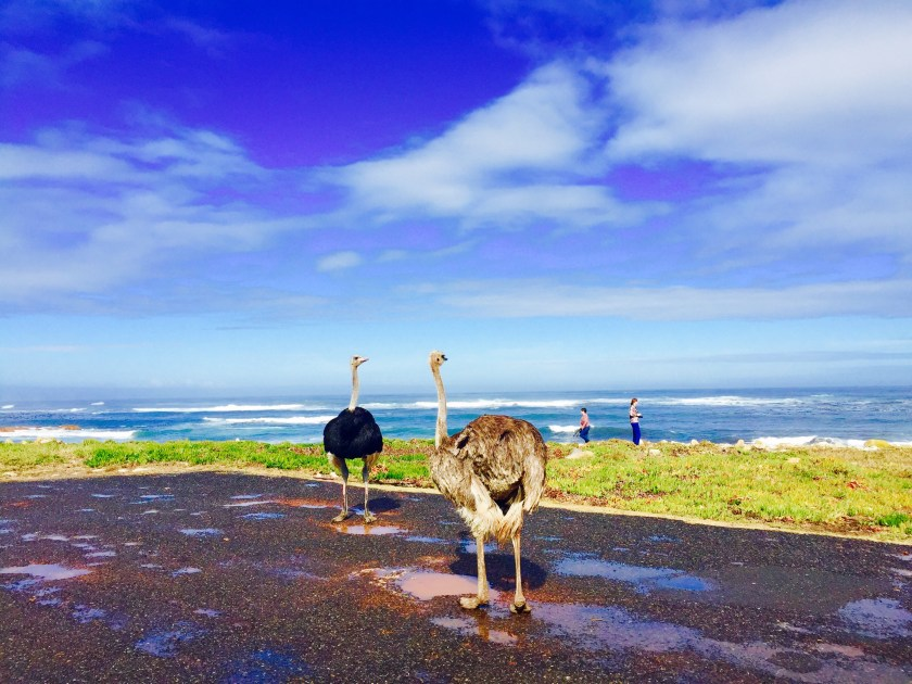 Table mountain national park, ostrich south africa, south africa blogs
