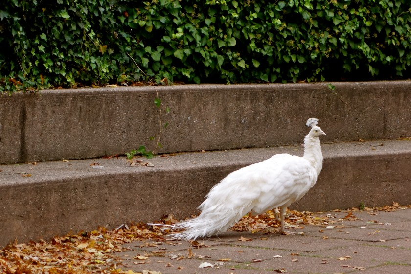 white peacock, albino peacock, new york peacocks