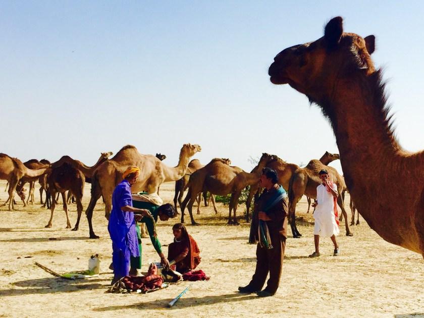 Gujarat tribe, banni grasslands, nomads india