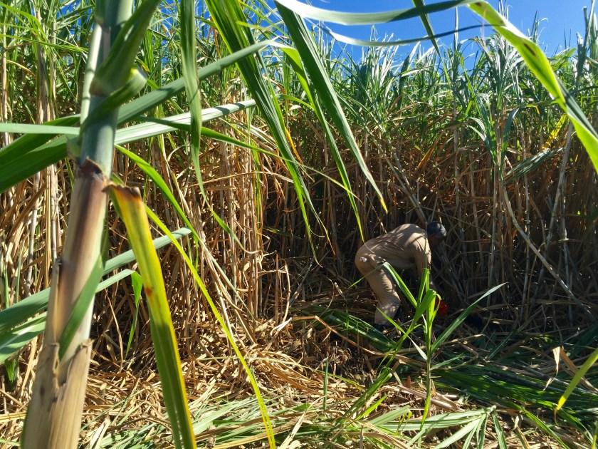 Mauritius history, Mauritius sugarcane, Mauritius people, life in Mauritius
