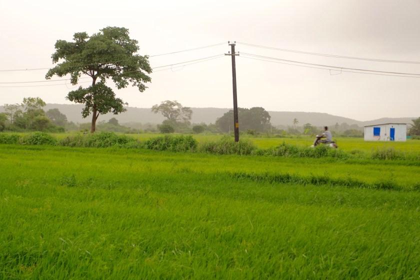 rice paddies, saligao