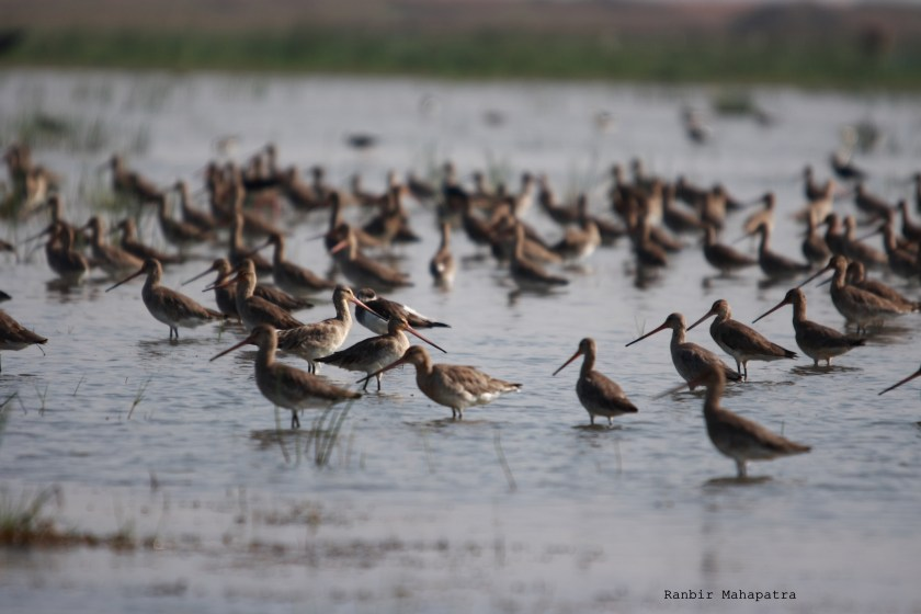 Black winged godwits, Mangalajodi blog, bird sanctuary Orissa, wildlife conservation in India