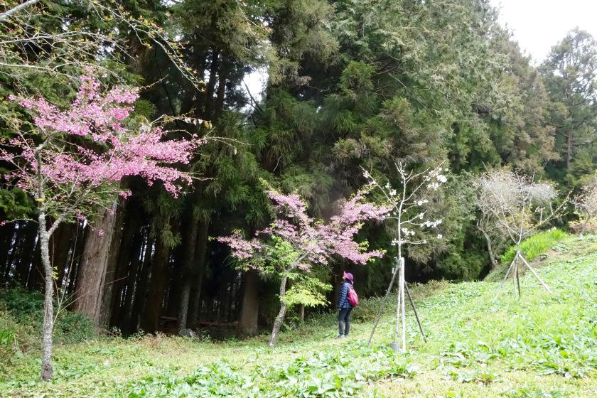 taiwan cherry blossom, japanese writer murakami, murakami japan