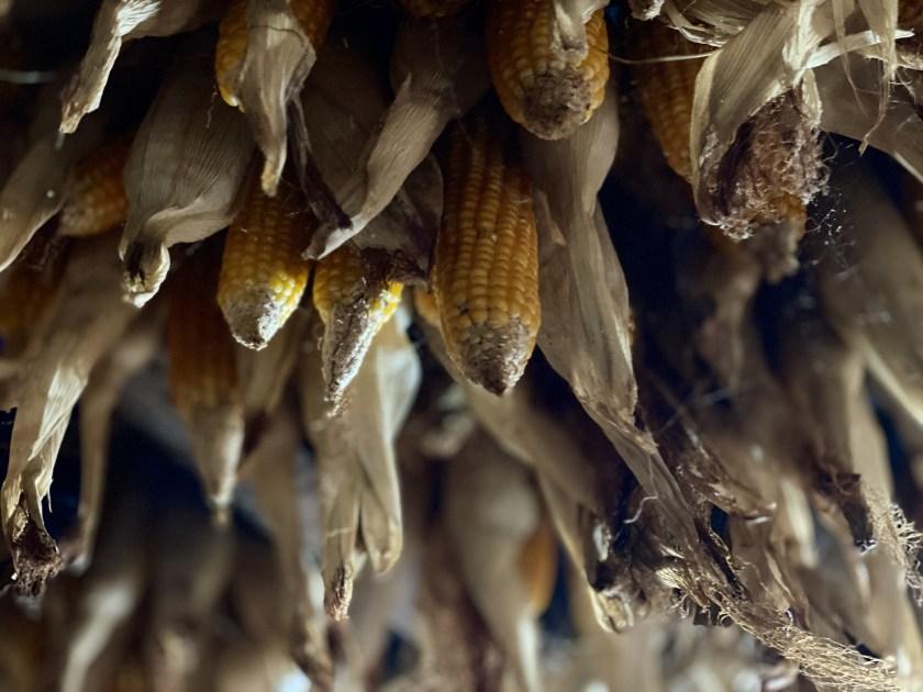 corn, gond village, bastar