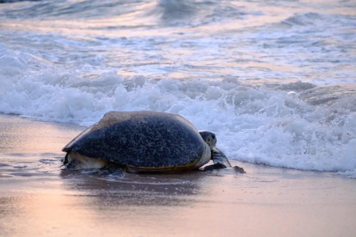 turtle of oman, green turtle oman returning to the sea