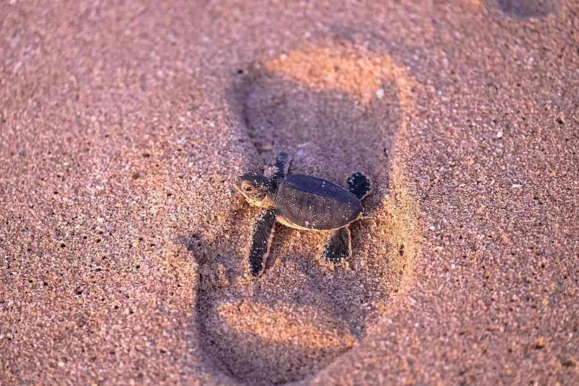 żółwie w Omanie, Malutki żółwik w drodze do morza