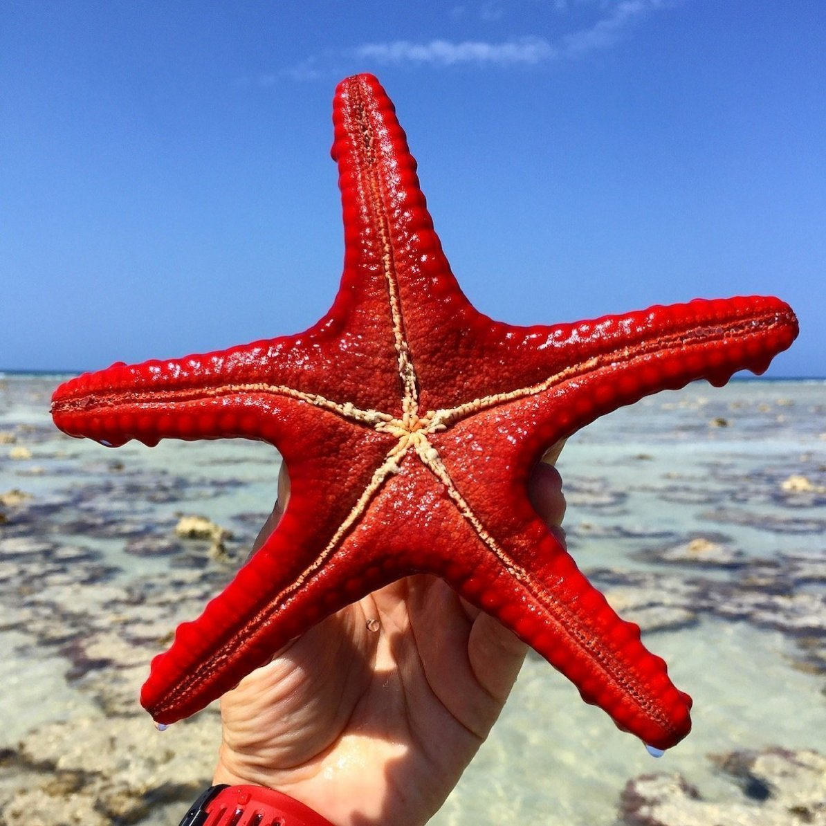 zanzibar-adventure red starfish