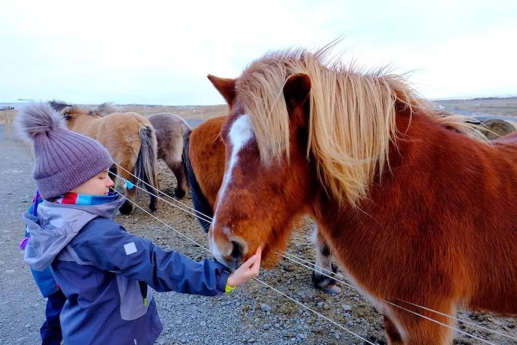 Dziewczynka karmi Islandzkie konie, ciekowastki o Islandii