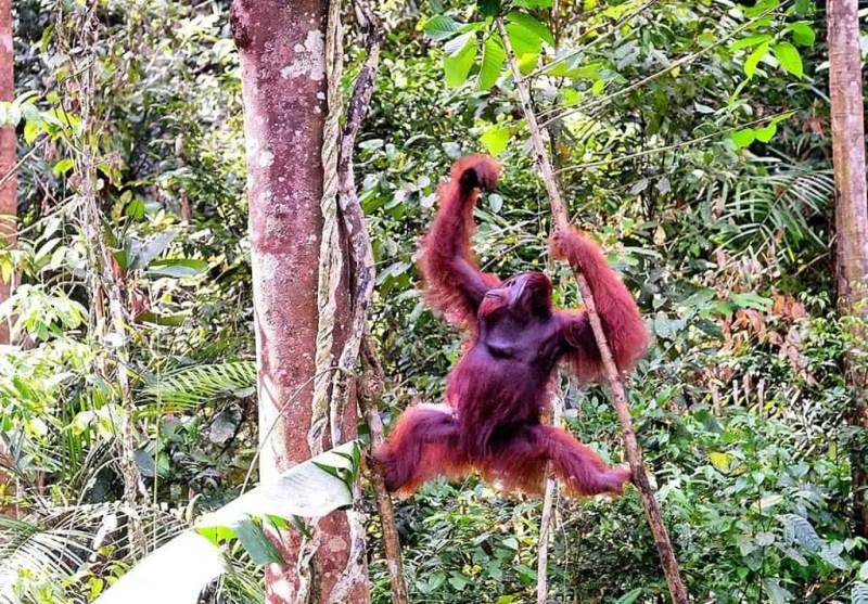 things to do in Kuching - visiting Orangutan rehabilitation center
