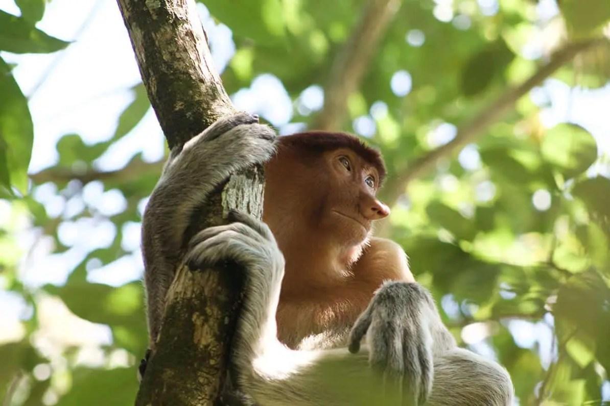 thigns to do in kuching - visit bako national park and spot proboscis monkeys