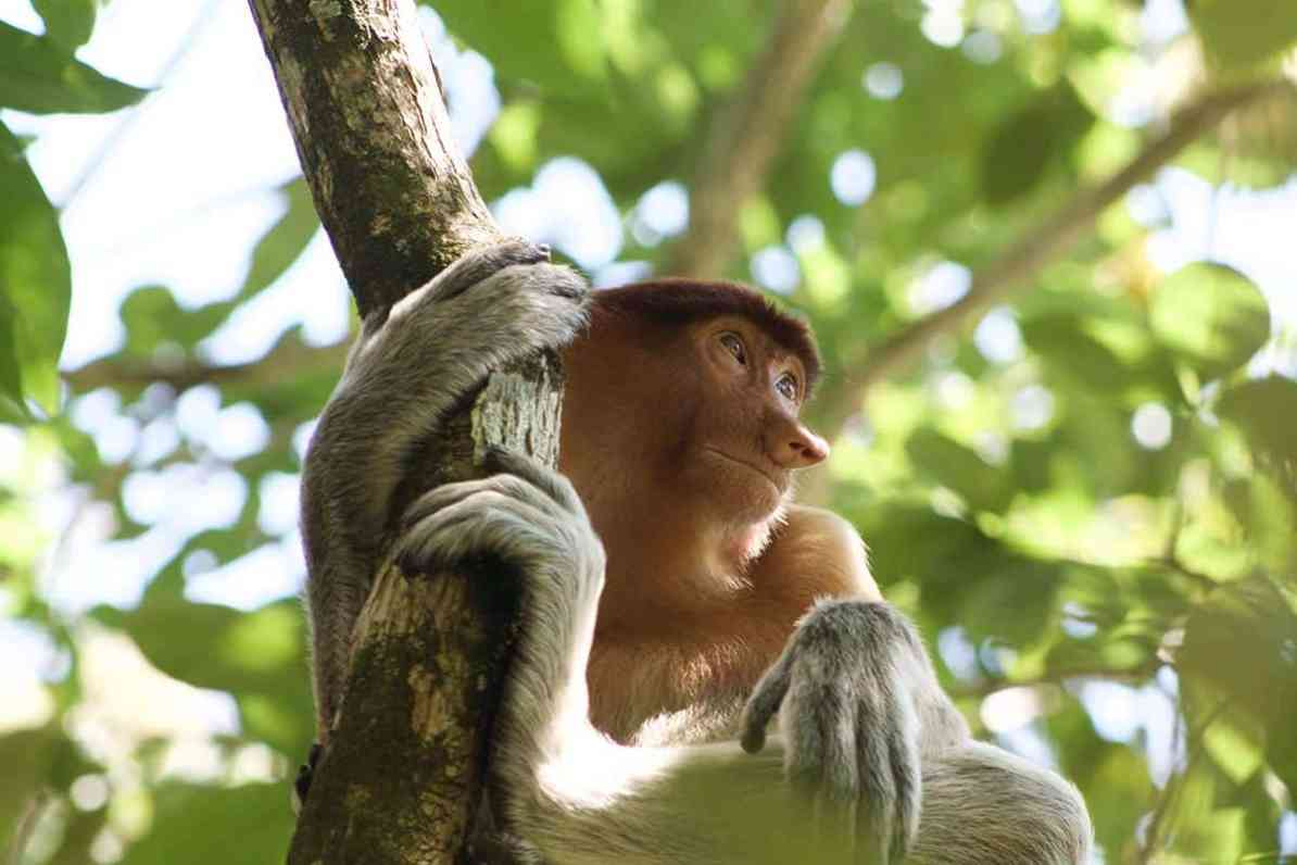 thigns to do in kuching - visit bako national park and spot proboscis monkeys