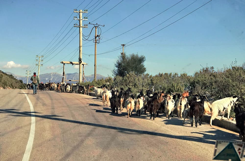 typical situation on Albanian road - crossing goats