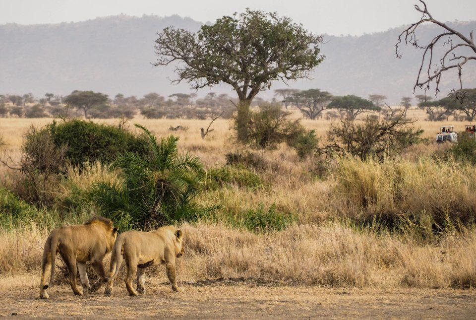 Tansania-Serengeti-Safari-Löwen