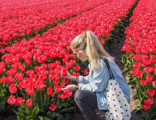 Tulpenblüte Holland-Bollenstreek-Anna