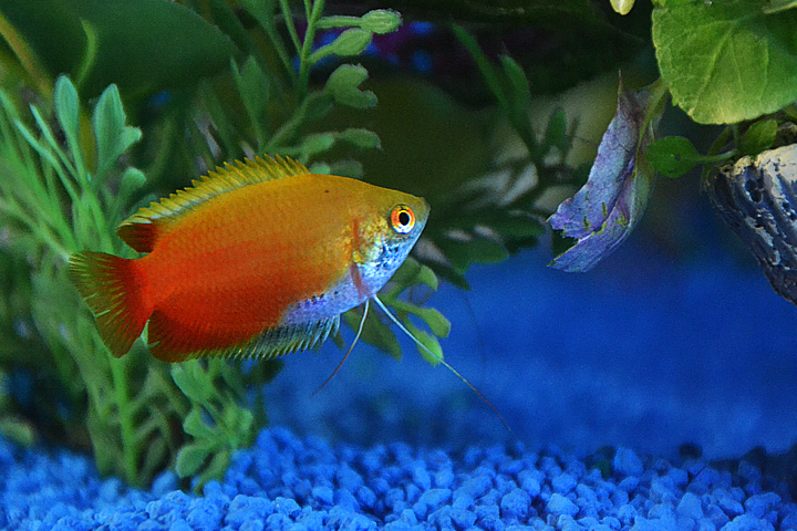 A Honey Gourami