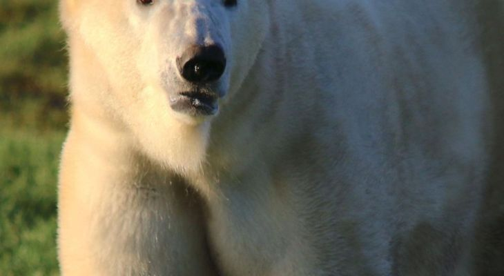 Two New Polar Bears Have Arrived At The Yorkshire Wildlife Park From Europe