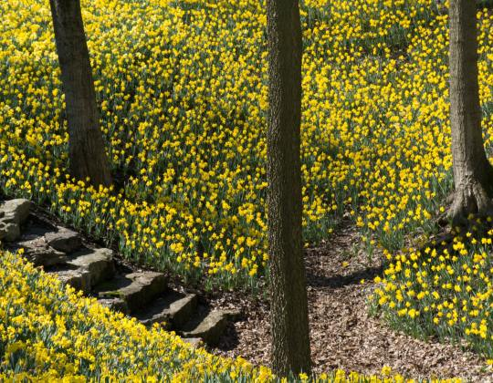 The Hidden Yorkshire Valley Completely Covered In Daffodils During The Spring