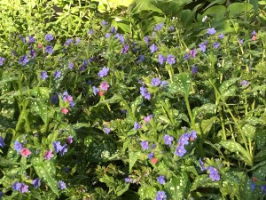 blooming lungwort