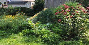 bee balm and black-eyed susans