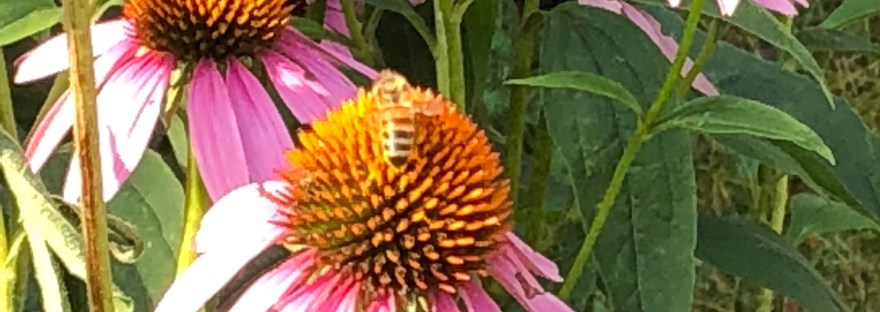dark and light brown striped honeybee, sitting on purple coneflower in full bloom