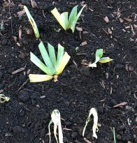 Iris transplants in Fall