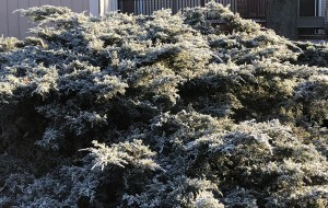 morning sun on frosty juniper in early winter