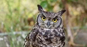 yellow-eyed great horned owl