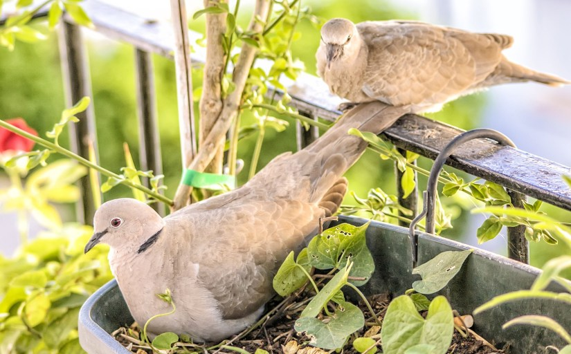 2 morning doves; one on balcony railing and one in the window box